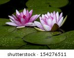 Water Lily With Water Drops...
