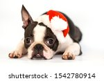 Dog Breed Boston Terrier In Red ...