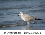 Stock photo young european herring gull larus argentatus standing on beach in water 1542824231