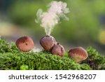 Puffball Fungus  Lycoperdon...