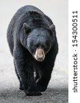 Wild Black Bear Walking Down A...