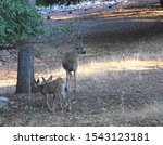 A Buck Watches Over His Two...