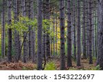 Maple saplings grow amongst the tall straight spruce trees in a plantation forest in Whitefish Dunes State Park in Door County, Wisconsin