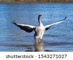 Grey Goose Pulls Wide Spreading ...