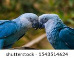 The Spix\'s Macaw Is A Macaw...
