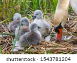 Mute Swan Female Pen With Four...