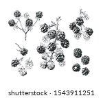 isolated hand drawn blackberry... | Shutterstock .eps vector #1543911251