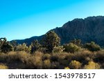 Joshua Trees, Cholla cacti, creosote bushes, and other desert plants in Spring Mountain Ranch State Park in Nevada