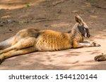 Kangaroo Sleeping In A Zoo  A...