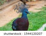 The Western Crowned Pigeon ...