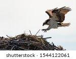 An Osprey Landing On Its Nest.