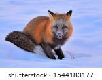 The Hungry Fox In The Yukon...