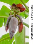 Red  Banana Blossom  See The...