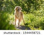 Beautiful Dog Hovawart Breed...
