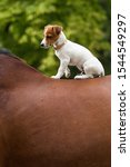 Young Jack Russel Seated On A...