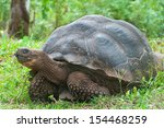 Single Giant Galapagos Tortoise.