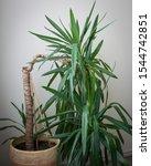 Yucca Plant Indoors In Big...