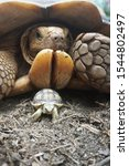 Stock photo close up african spurred tortoise resting in the garden slow life africa spurred tortoise 1544802497