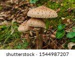 Three Isolated Mushrooms ...
