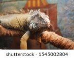 Iguana Sleeps  Lies On A Branc...