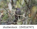 Australian Wildlife Wild Bird...