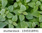 Frosted Nettle Leaves On With...