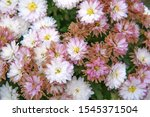 Bouquet Of White Chrysanthemum...