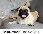 Funny Dreamy Pug With Sad...