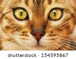Stock photo bengal cat 154595867
