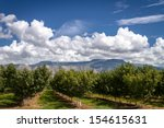 Rows Of Peach Trees In...