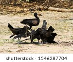 Small photo of A family of Openbill Stork chicks frantically solicit food from a parent in an exaggerated begging display which the parent finds hard to ignore despite them being well developed and fledged.