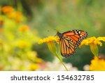 Monarch Butterfly Drinking...
