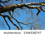 Strong Sturdy Bare Branches Of...