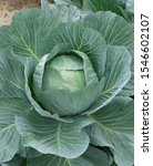 Small photo of Top View of Fresh Cabbage