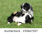 Stock photo adorable border collie puppies playing in the garden 154667207