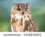 Owl Bird Portrait. Funny Owl...
