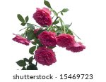 hanging red roses on white... | Shutterstock . vector #15469723