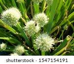 Leek Onion Bloom. Bee On An...