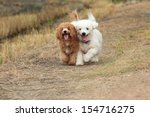 Stock photo two of cute poodle dogs running on nature background 154716275