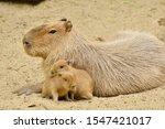 Cute Face Capybara Mammal...