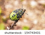 Small photo of The green soldier bug (Acrosternum hilare)