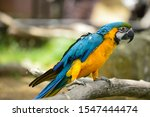 Blue And Gold Macaw   Blue And...