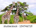 giraffes in kruger park south... | Shutterstock . vector #154746719