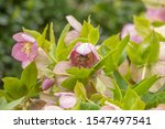 Small photo of Bumblebee pollinates the flower of a Snow Rose