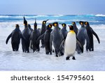 King Penguins heading to the water in the Falkland Islands - stock photo