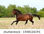 Beautful Brown Horse Running...