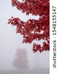 Colorful Red Maple Leaves On...