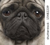 Pug  4 Years  In Front Of A...
