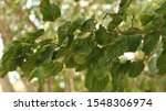 Small photo of worm-eaten mulberry tree leaves. tree leaves.