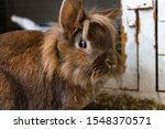 Stock photo cute brown breeding rabbit portrait in front of his rabbit hutch 1548370571
